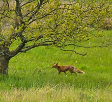 Red Fox by M.S. Photography/Art