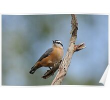 Red - breasted Nuthatch  Poster