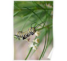 Monarch Caterpillar - 1 Poster