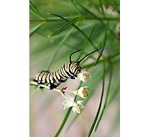Monarch Caterpillar - 1 Photographic Print