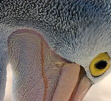 Australian Pelican by christopher hodgson