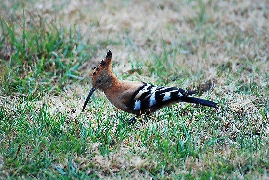 The Hoopoe by laureenr