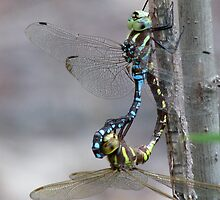 Mating Dragonflies by swaby
