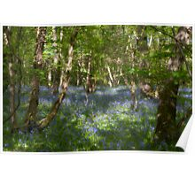 Soft English Bluebells and Silver Birches Poster