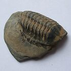 North Cornish   PHACOPS  TRILOBITE. by greenstone