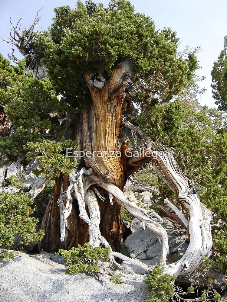 Tree in Lake Tahoe by Esperanza Gallego