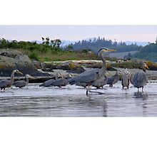 Great Blue Herons Photographic Print