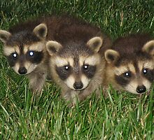 Three Racoons by Peter Bida