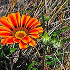 Gazania by HG. QualityPhotography