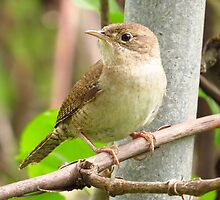 Sweet Little Wren by lorilee