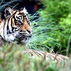 Tiger in the Grass by Wayne Gerard Trotman