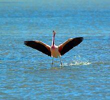 Andean Flamingo lands at Salar de Tara by parischris