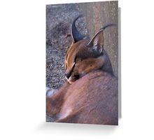 CARACAL - Felis caracal - 1125 views 2011/09/09 Greeting Card