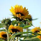 Sunflowers by TriciaDanby