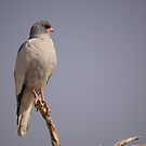 Pale Chanting Goshawk by Steve Bullock