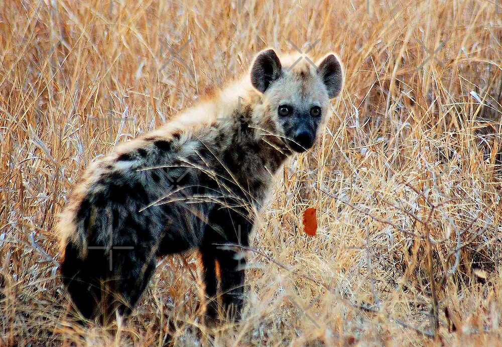 THE SPOTTED HYAENA - Powerful and treacherous... by Magriet Meintjes