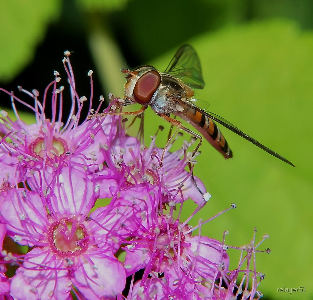 Hoverfly amongst the stamens by relayer51