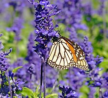 Lavender Butterfly by DarthIndy