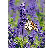 Lavender Butterfly Photographic Print