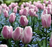 Pink Tulips at Queen Elizabeth Park by Wolf Read