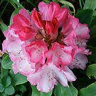 Pink Rhododendrons Adorning Vancouver by Wolf Read