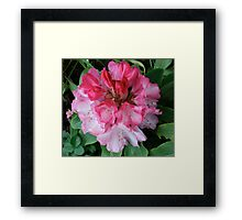 Pink Rhododendrons Adorning Vancouver Framed Print