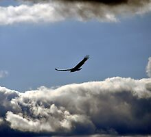 Turkey Vulture in cloudy sky by Gotcha  Photography