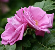 Pink Roses Atop Rich Foliage by Wolf Read