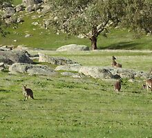 Who can see how many Roos on 'Arilka'  Mount Pleasant.  by Rita Blom
