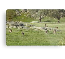 Who can see how many Roos on 'Arilka'  Mount Pleasant.  Metal Print