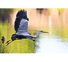 Heron Launch Photographic Print