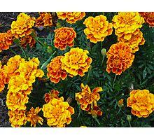 Fall Marigolds Photographic Print