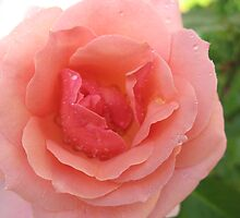 Sweetness and Light Rose by MarianBendeth