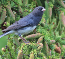 Junco Among the Cones Sticker