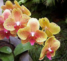 Pink/Yellow Phaelanopsis Orchids by LuvlyGrafix