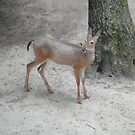 White Tail Deer - Cape May Zoo (Exit 11) by Fitcharoo