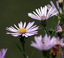 Lavender Asters by Wolf Read