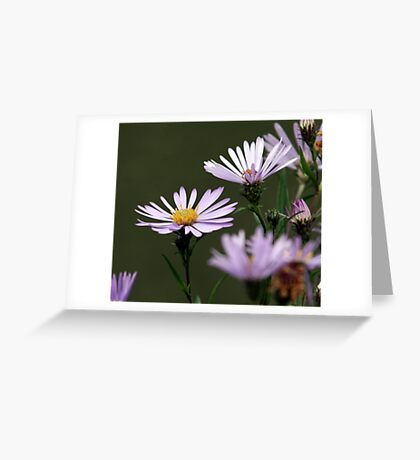 Lavender Asters Greeting Card