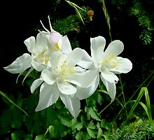 White Columbine in Maroon Bells Wilderness by Bob Spath