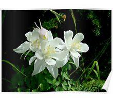 White Columbine in Maroon Bells Wilderness Poster