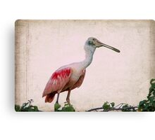 Male Roseate Spoonbill Canvas Print