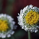 Myriocephalus Poached Egg Daisy flower 19980808 0016 by Fred Mitchell