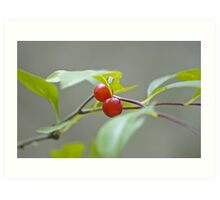 Pussum Haw Berries Art Print