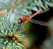 Dainty Dragonfly by vette