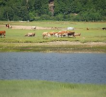 Cows in Baie-St-Paul, Quebec by Ralph Angelillo
