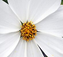 Cosmos White Flower by Pam Moore