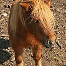 Shetland Pony by Robert Abraham