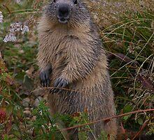 Marmot by Frederic Chastagnol