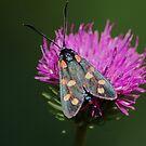 A moth by loiteke