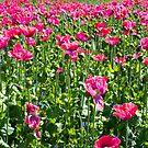 Poppy Field by Walter Quirtmair